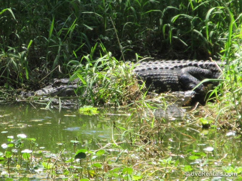 Circle B Bar Alligator