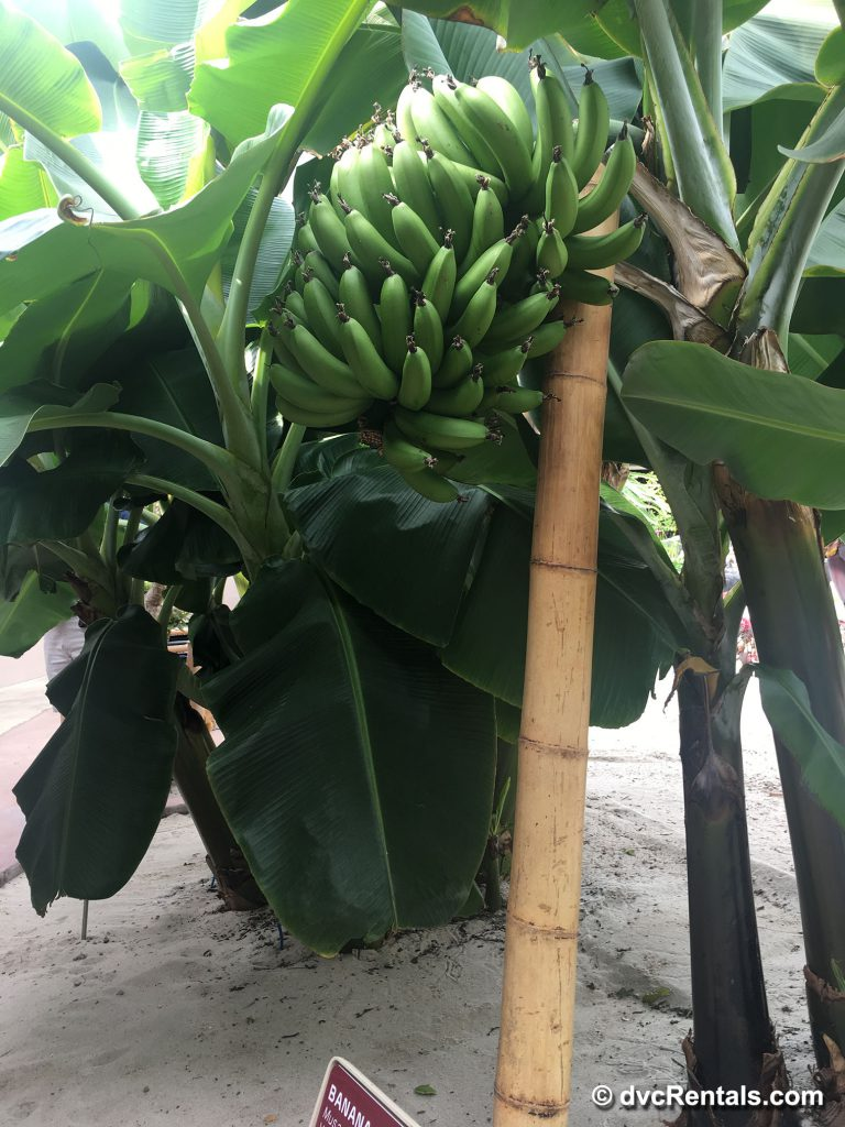 Bananas from the greenhouses in the Behind the Seeds Tour