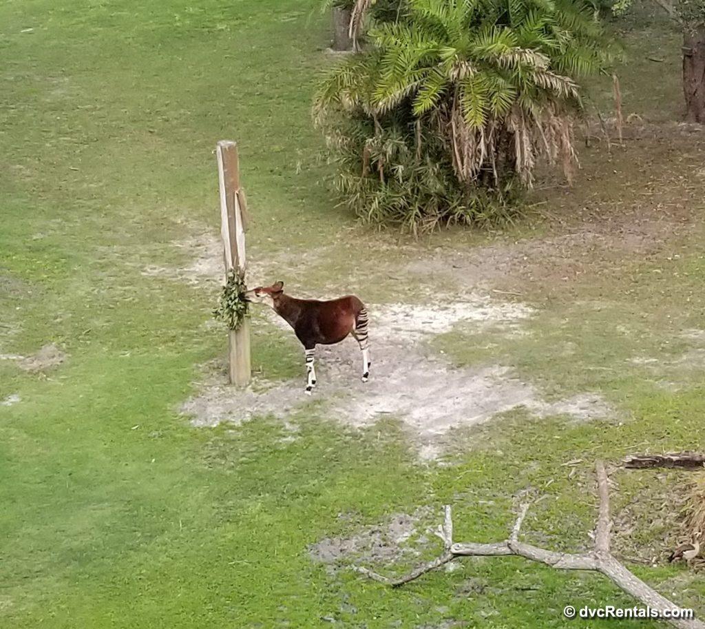 Okapi on the savanna