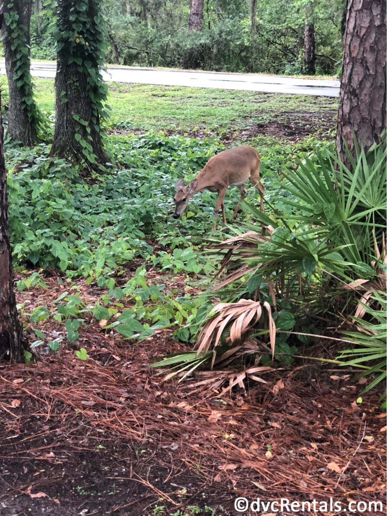 Deer as seen from the Wilderness Lodge running path