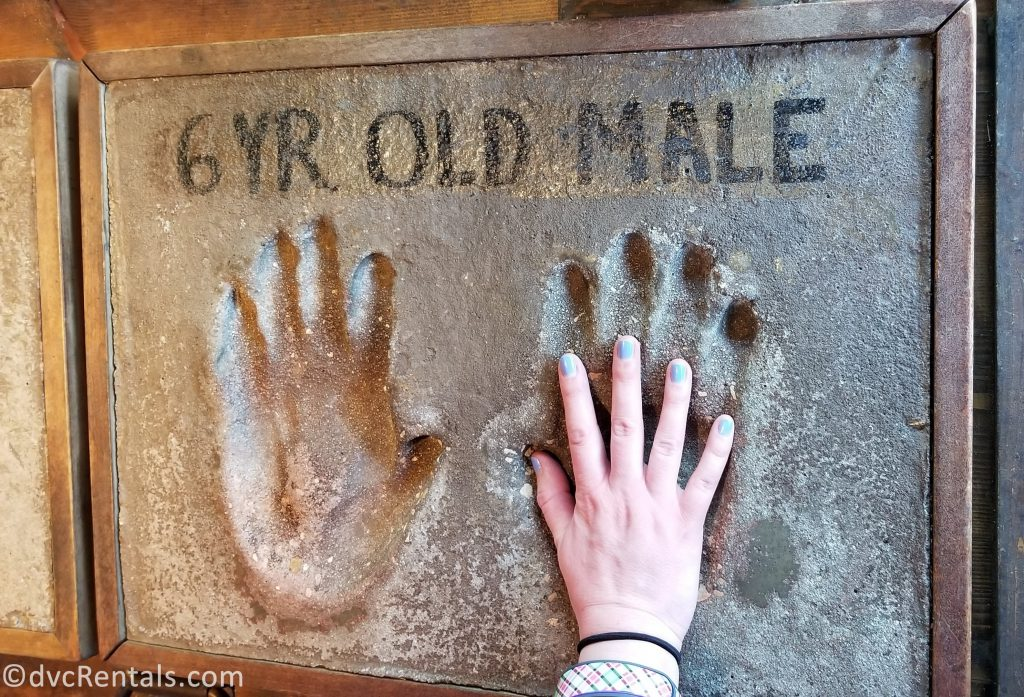 Mold showing the hand and foot size of gorillas at Disney's Animal Kingdom