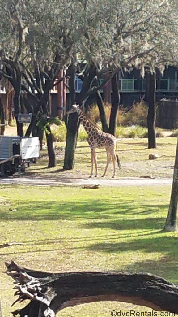 giraffe on the savanna at Disney's Animal Kingdom – Kidani Village