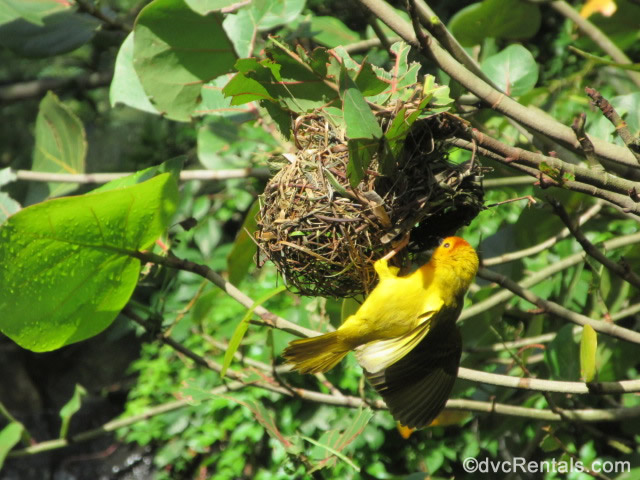 Weaver Bird from the Animal Kingdom