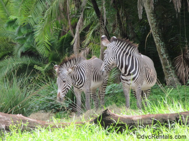 zebras from the Animal Kingdom