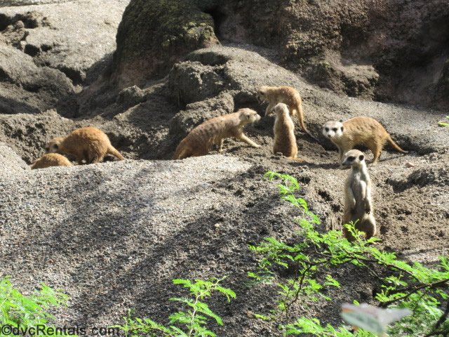meercats at the Animal Kingdom