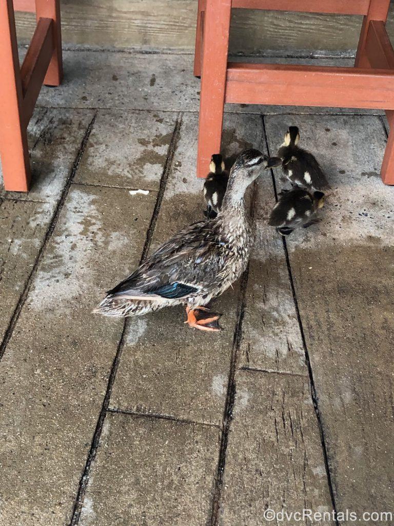 ducks at Hurricane Hannah's