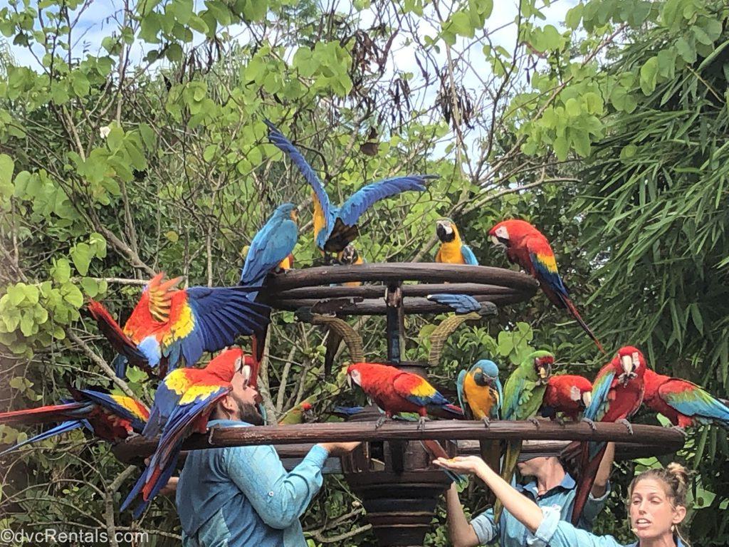 McCaw birds taking flight at Disney's Animal Kingdom