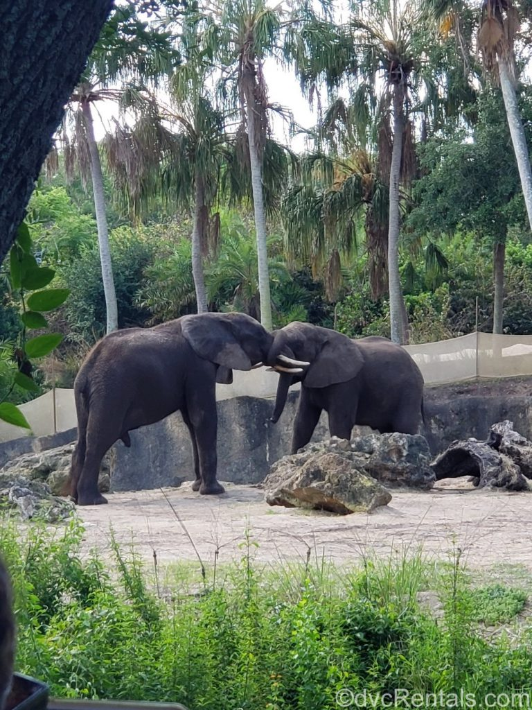 2 young male elephants playing
