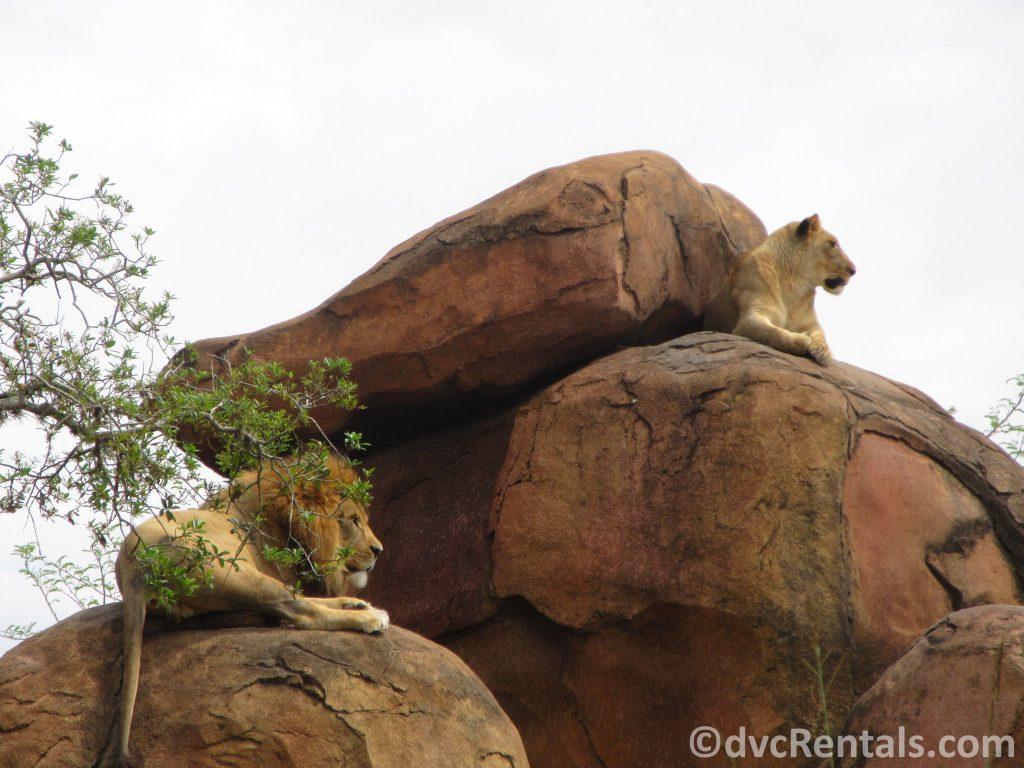 Lions on the Kilimanjaro Safari at Disney's Animal Kingdom