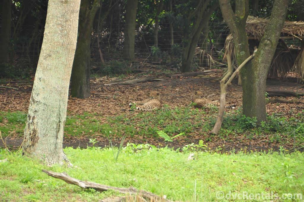 Cheetahs at the Wild Africa Trek