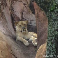 Lion at the Wild Africa Trek