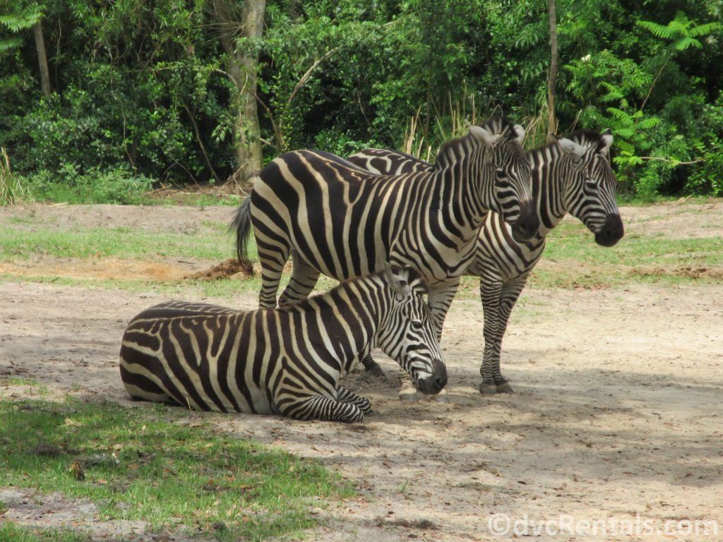 Zebras at the Wild Africa Trek