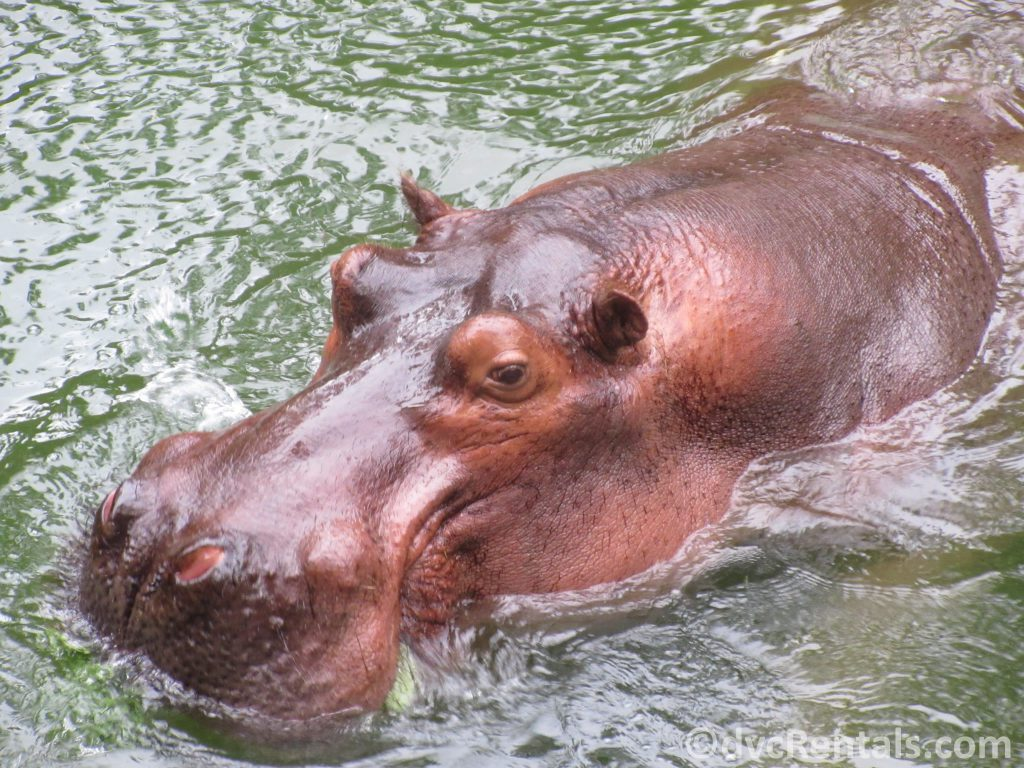 Hippos from the Wild Africa Trek
