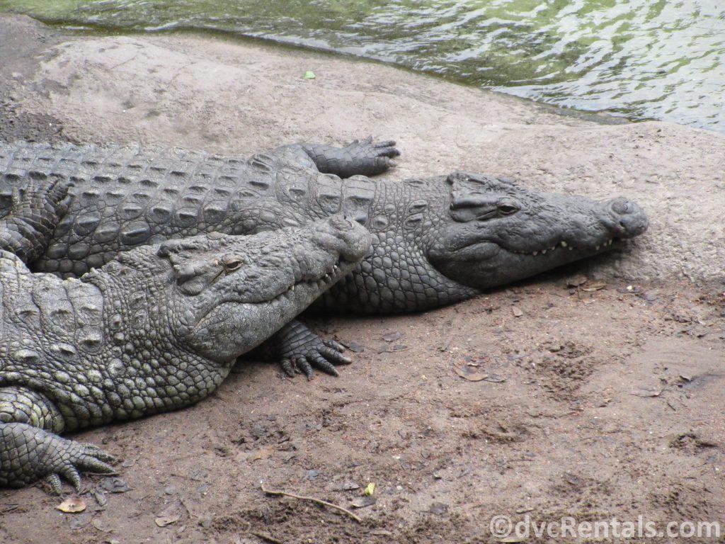 crocodiles at the Wild Africa Trek