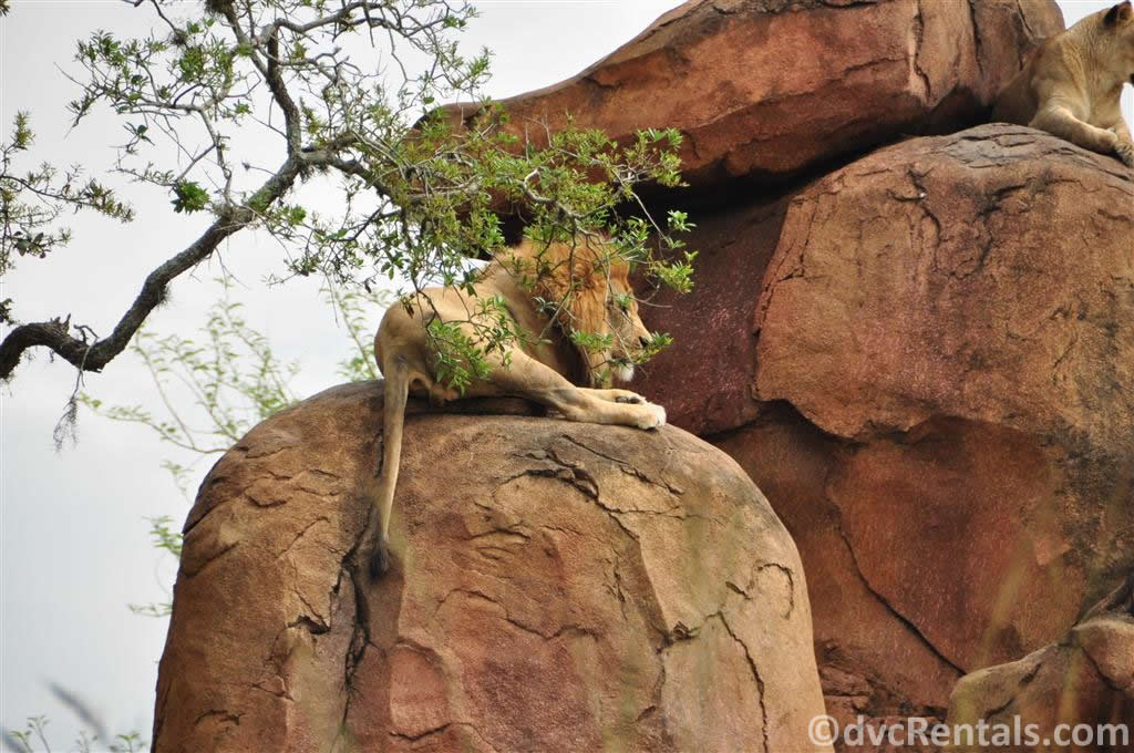 Lions at the Wild Africa Trek