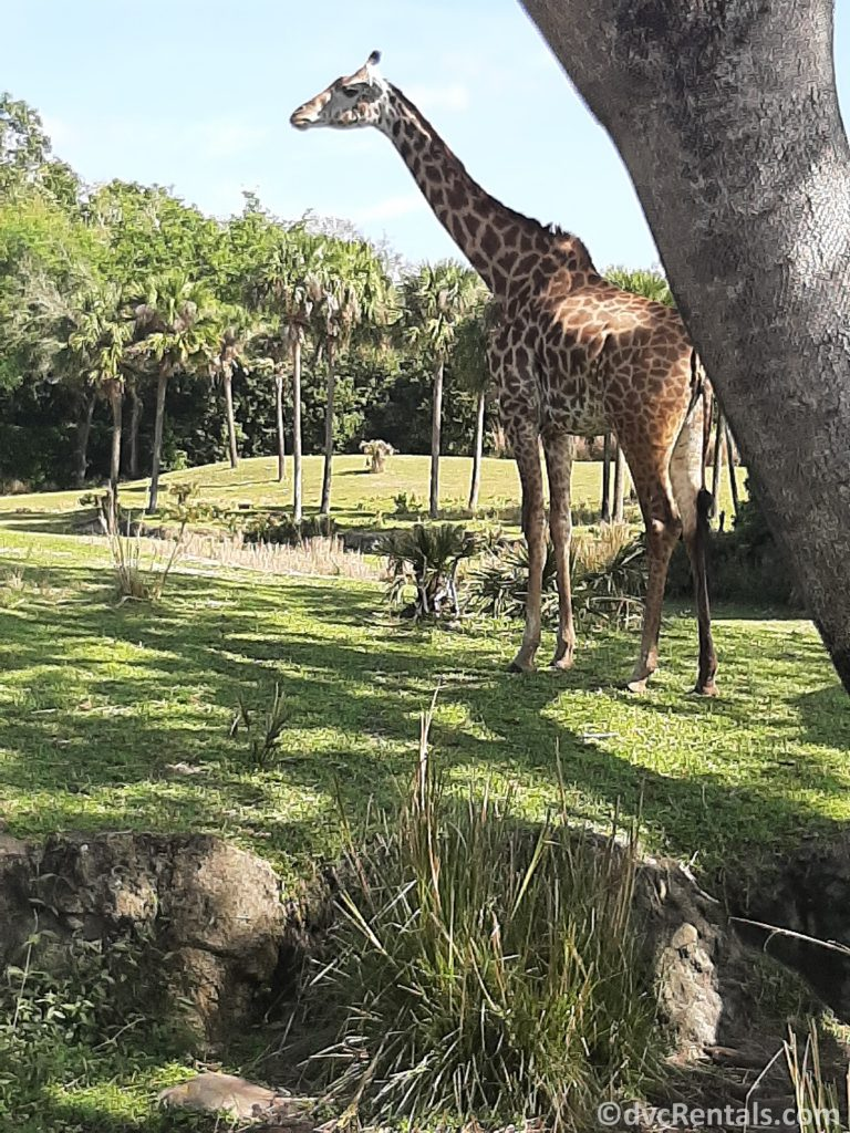 photo of a giraffe on the Animal Kingdom Kilimanjaro safari