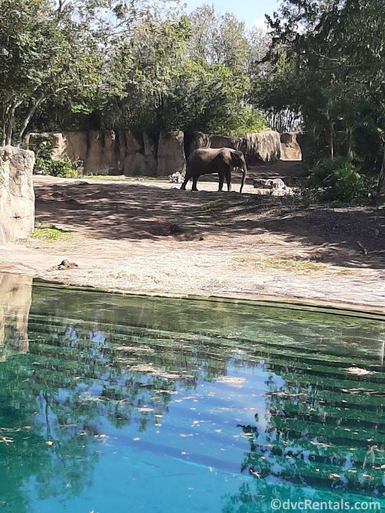photo of an elephant on the Animal Kingdom Kilimanjaro safari