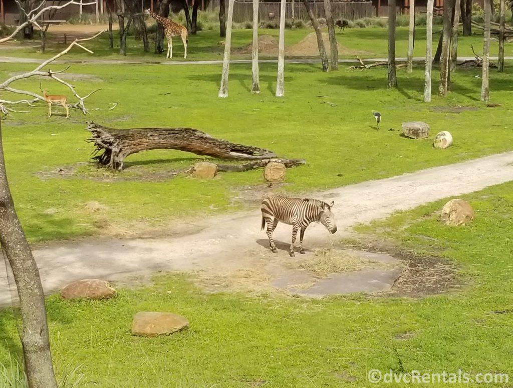 Savannah at Disney's Animal Kingdom Villas