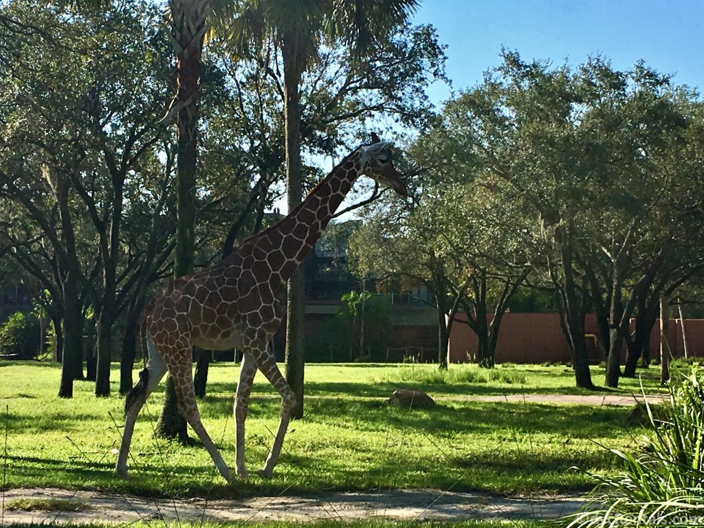 giraffe on the savannah at Disney's Animal Kingdom Villas