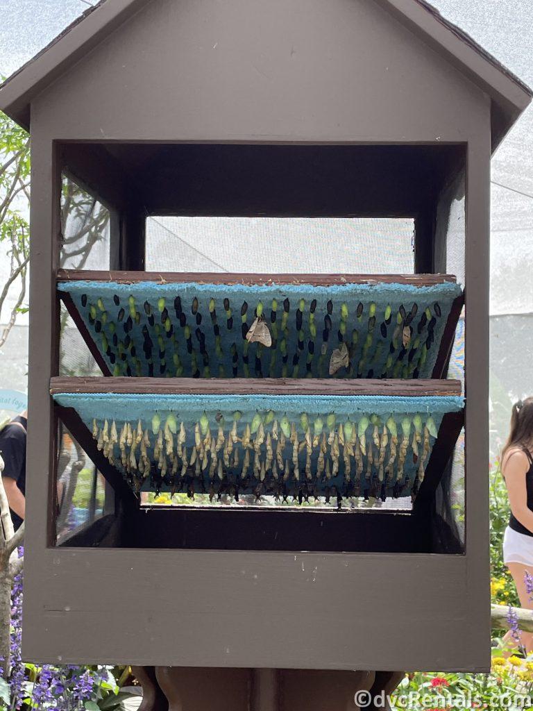butterflies emerging from the chrysalis at the Taste of Epcot International Flower & Garden Festival
