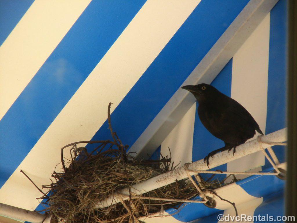 Bird's nest on a balcony at Disney's Boardwalk Villas