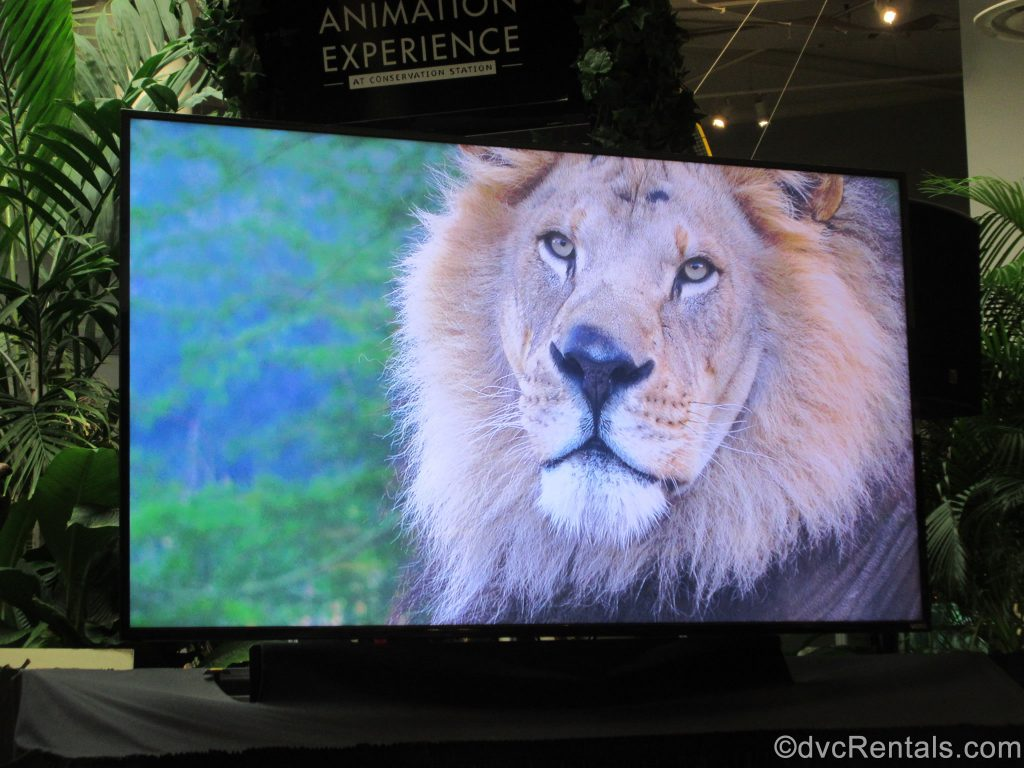 Lion video show before learning to sketch Simba
